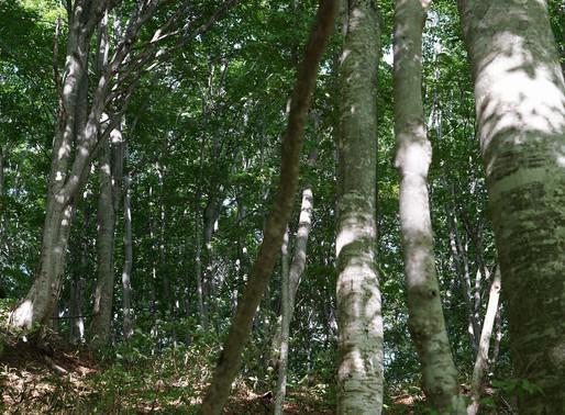 山形のブナ林 松尾芭蕉「閑さや 岩にしみ入る 蝉の声」
