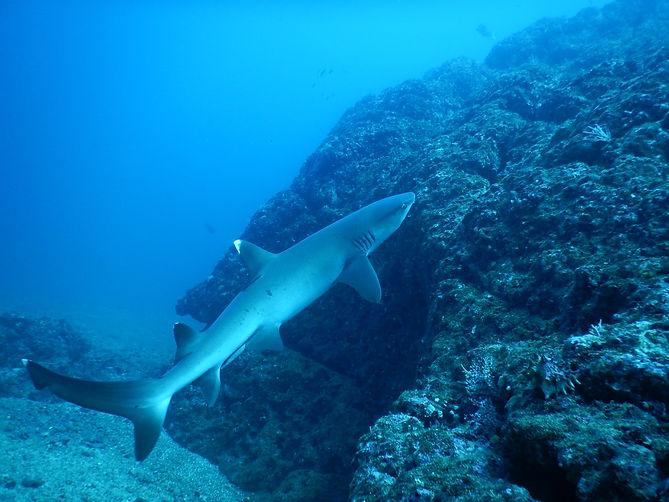 Shark Las Catalinas