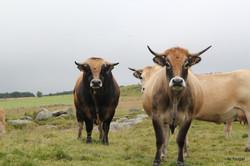 Troupeaux de vaches