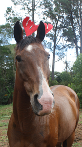 A close up of a horse wearing Christmas reindeer antlers that is looking at the camera