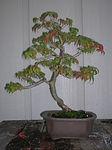 Kousa dogwood 2005.jpg