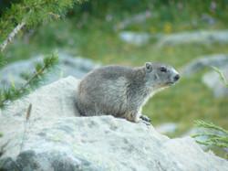Marmotte du Col des Champs