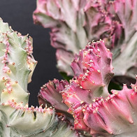 Coral cactus (Plant only £15) . .  #cact
