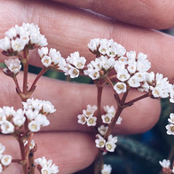 crassula quadrangularis in bloom . .  #c