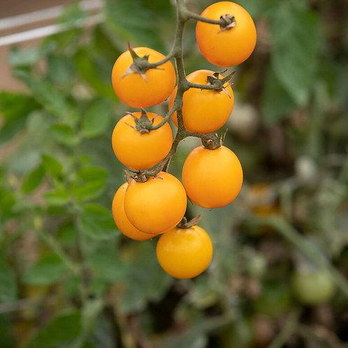 Gold Nugget Organic Tomato Seed