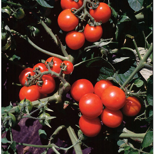 Washington Cherry Organic Tomato Seed