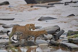 Voyage au Kenya - parc de Masaï Mara