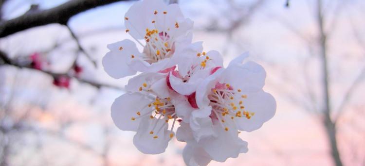 amandier en fleur.jpg
