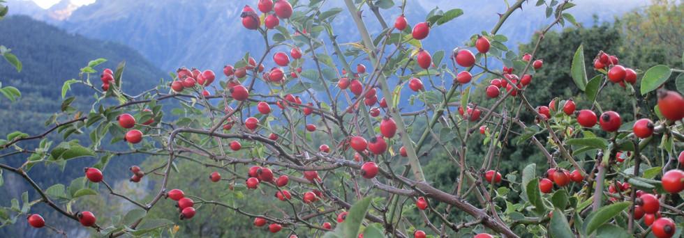 photo_eglantier_fruits.jpg