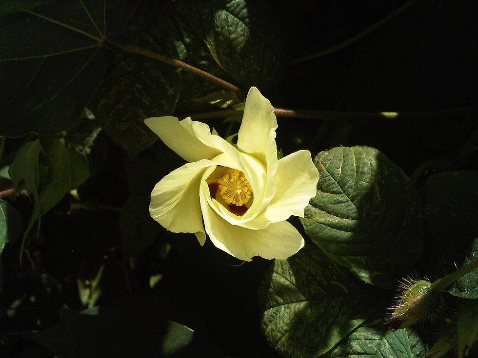 fleur-de-cotonnier-80aadefe-485f-47a5-a6
