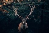 cerf-animaux-vercors.jpg