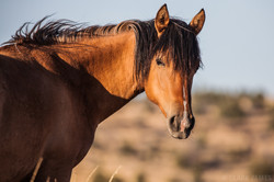 WILD HORSE OF EASTERN OREGON