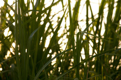 SUNSET IN THE GRASS ON VANUATU