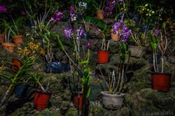 SLEEPING GIANT ORCHID GARDEN, FIJI