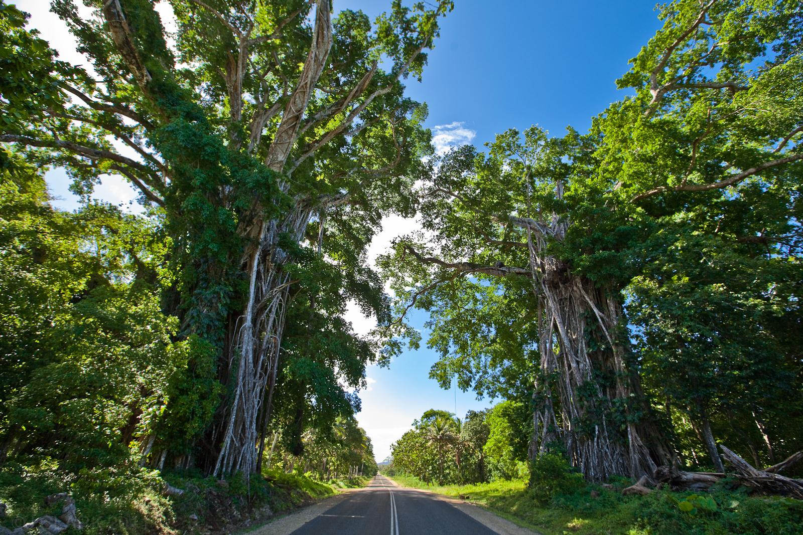 BANYANS TREES ON EFATE, VANUATU