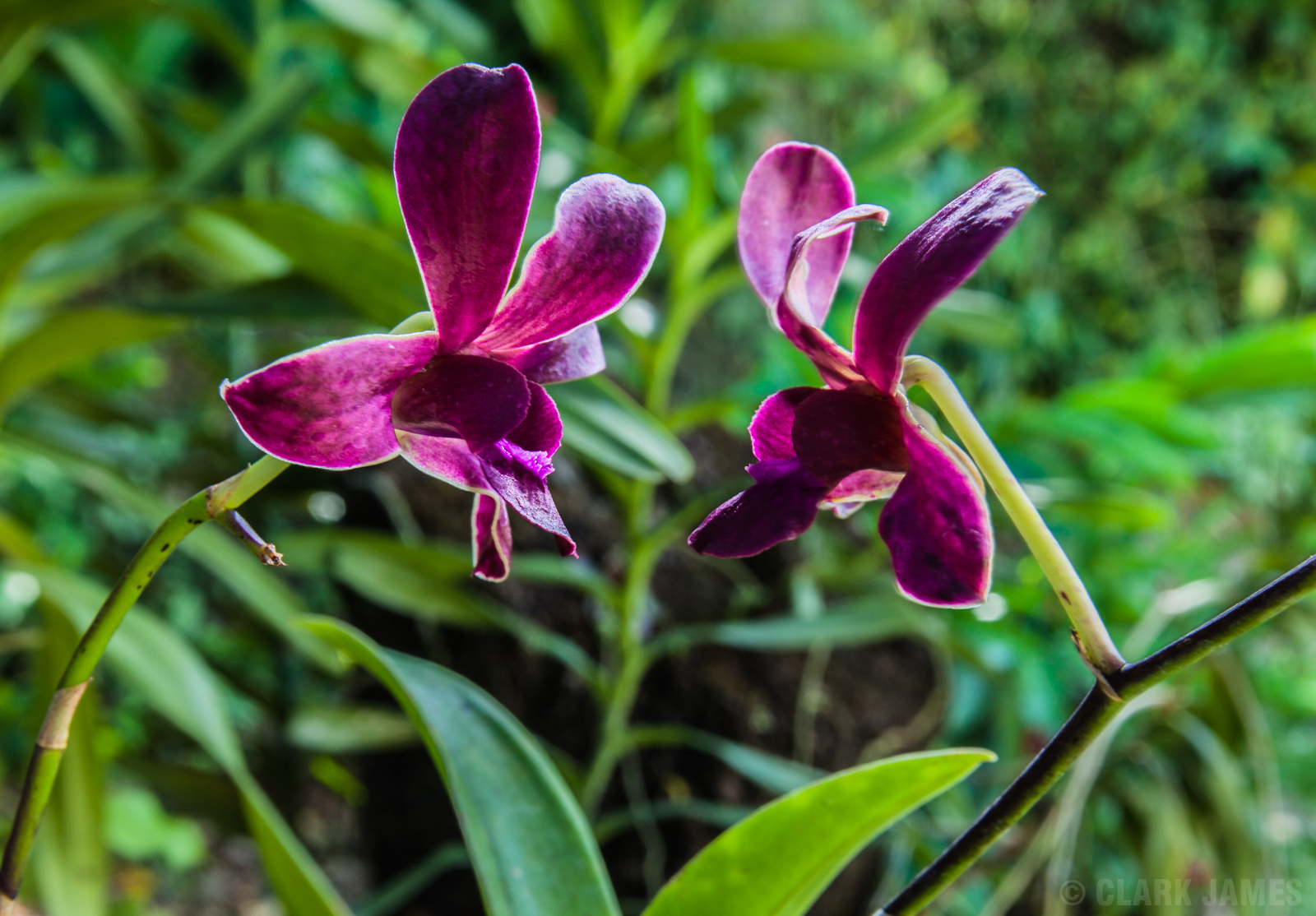 SLEEPING GIANT ORCHID GARDEN, FIJI