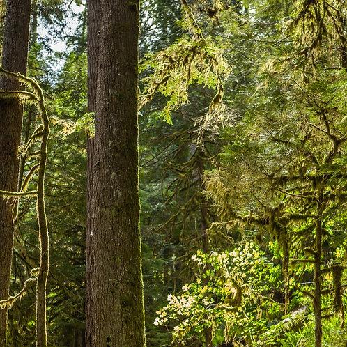 Oregon Rain Forest - 5.5oz Soy
