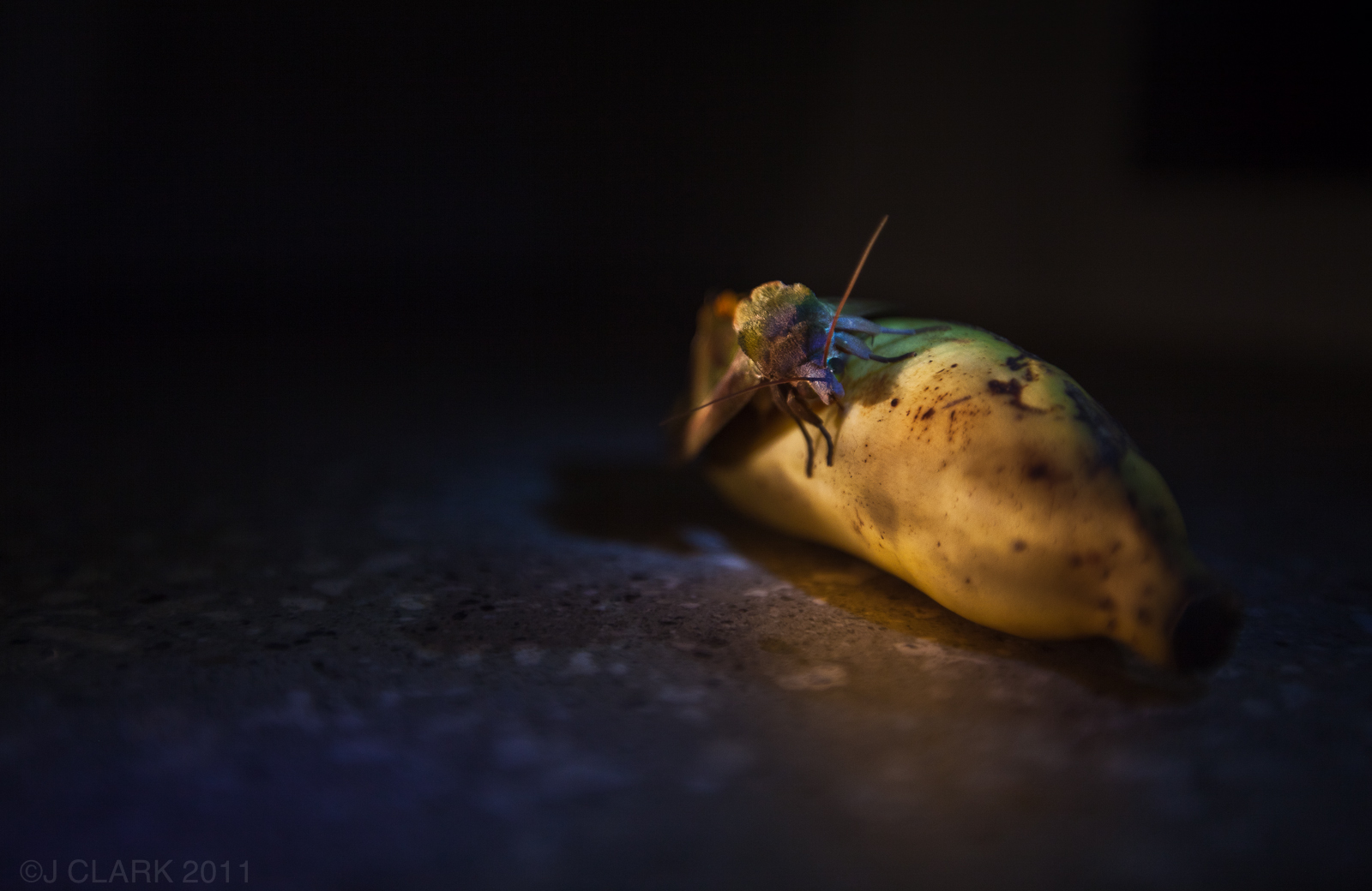 BANANA MOTH EATING A MEAL
