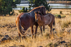 WILD HORSES OF EASTERN OREGON