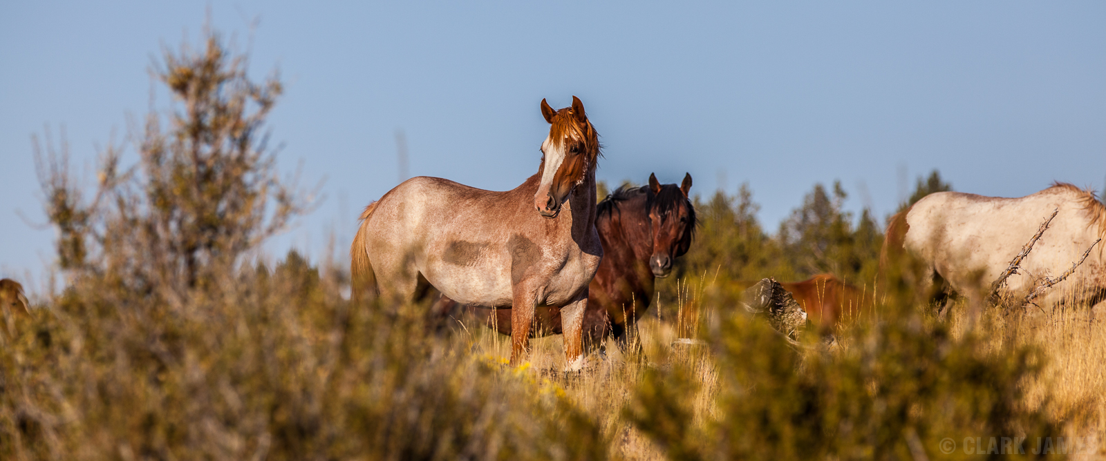 WILD HORSES OF EASTERN OREGON