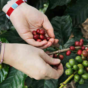 Hand picked coffee.