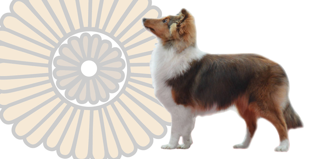 Young Mexican Champion Shetland Sheepdog
