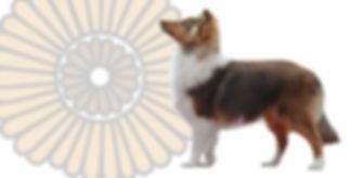 Young Mexican Champion Shetland Sheepdog