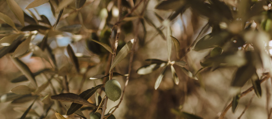 The Olive Tree: Turkey's Past, Present, and Future
