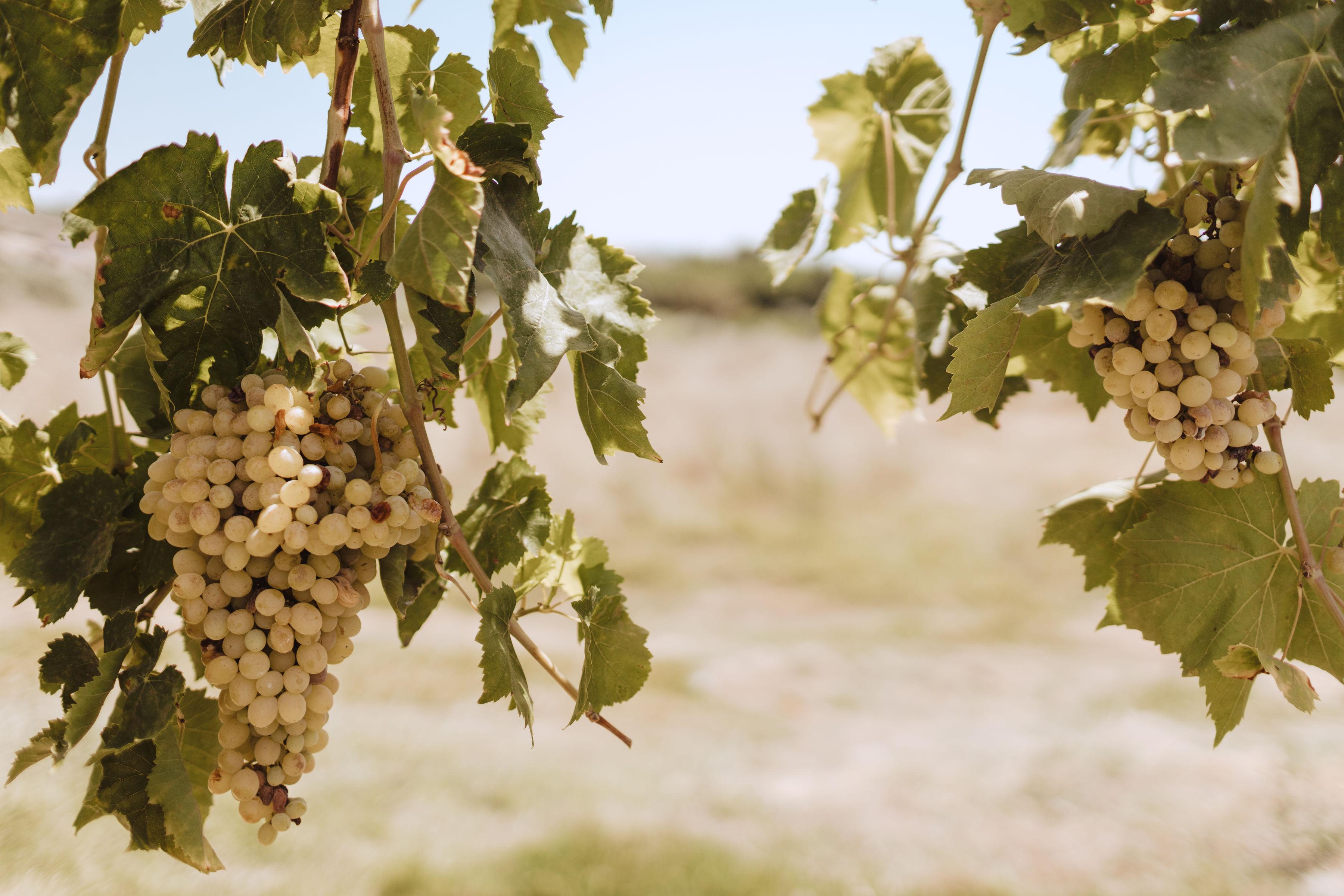 Grapevines in Zeytinköy.