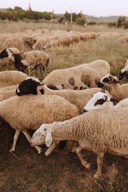 Sheep of Zeytinköy.