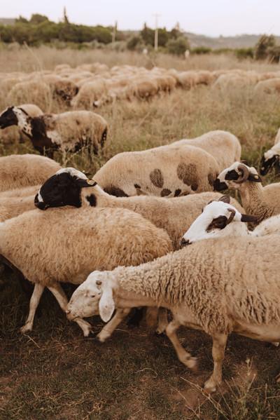 Village Sheep