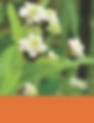 African Lemon Bush, Lippia Javanica, Wild verbena, Zinziba, Koorsbossie