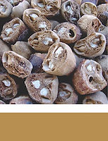 Marula Seed pods