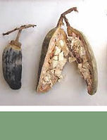 Baobab seed pods