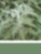 African Wormwood, Artemisia Afra