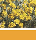 Pure Indigenous Cape Gold Helichrysum 100% South Africa essential oil