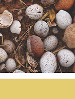 Mongongo nuts, seeds,