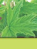 Lemon Geranium, Pelargonium Citronellum