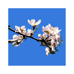 blossom 2 with border