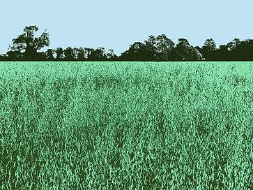 barley field green_10x7.5ii.jpg