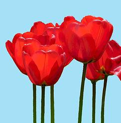 tulip card 5x5.jpg