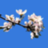 blossom 2i for card.jpg