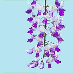 wisteria greetings card