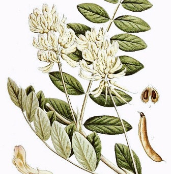 Medicinal Monday: Astragalus