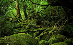 yakushima-forest-japan-FORESTBATH0217.jp