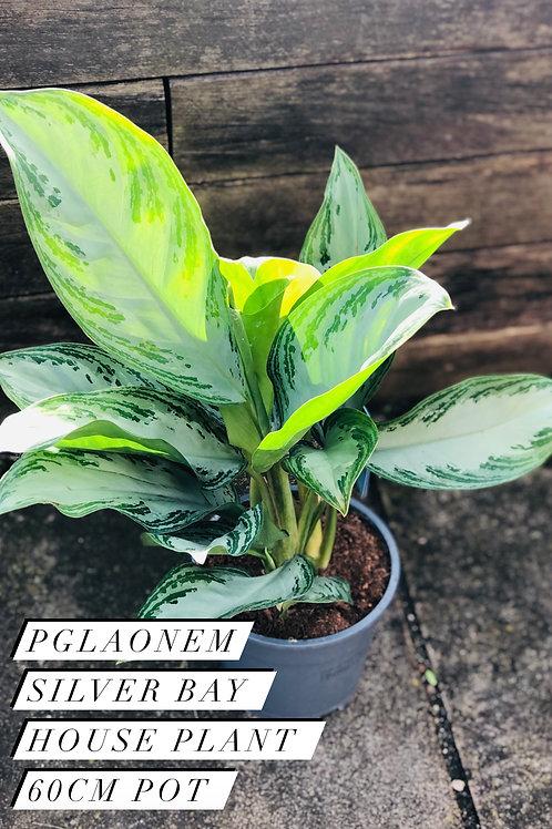 Pglaonem Silver Bay House Plant - 60cm