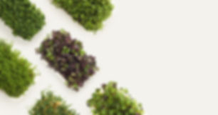 Boston microgreens supply to the local Chefs the best quality microgreens in the area