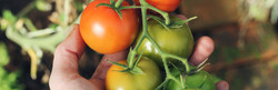 inside-home-tomatoes
