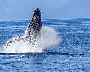 5-hawaii-whale .jpg
