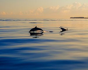 5-caribbean-dolphins.jpg